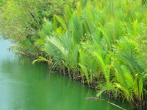 Nypa fruticans - Nipa palms in Bohol, Philippines