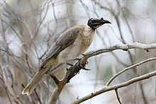 Noisy Friarbird dec07.jpg