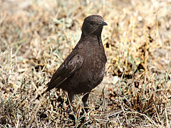 Northern Anteater-Chat RWD7.jpg