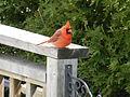 Northern Cardinal Male2.JPG
