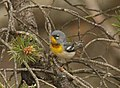 Northern Parula, Tawas Point State Park, 17 May 2015 (17179013084).jpg