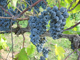 Norton (grape) varietal