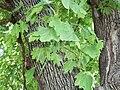 Norway Maple (Acer platanoides) bark and foliage.jpg