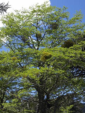 Nothofagus antarctica with Misodendrum angulatum.jpg