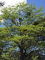 Nothofagus antarctica with Misodendrum angulatum.jpg