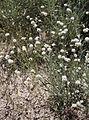 Nude buckwheat Eriogonum nudum.jpg