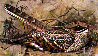 Nightjar - Image: Nyctidromus albicollis DF28N04B1