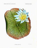Nymphaea caerulea.jpg
