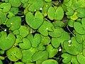 Nymphoides hydrophylla.jpg