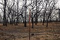 Oak trees and a fence that where severely damaged in a wildfire that occurred three weeks earlier. (24816106360).jpg