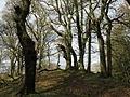 Oaks at Fairgirth - geograph.org.uk - 729741.jpg