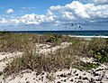 Oat grass (Uniola paniculata) in Florida.jpg