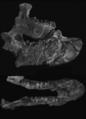 Obergfellia occidentalis mandible.tif