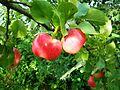 Obuoliai.JPG