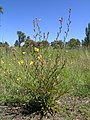 Oenothera stricta plant1 (14703539131).jpg