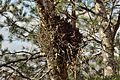 Ohtu bog Taphrina Betula pubescens.JPG