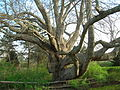 Old Linden Tree - Chatham, MA - April 2012.jpg