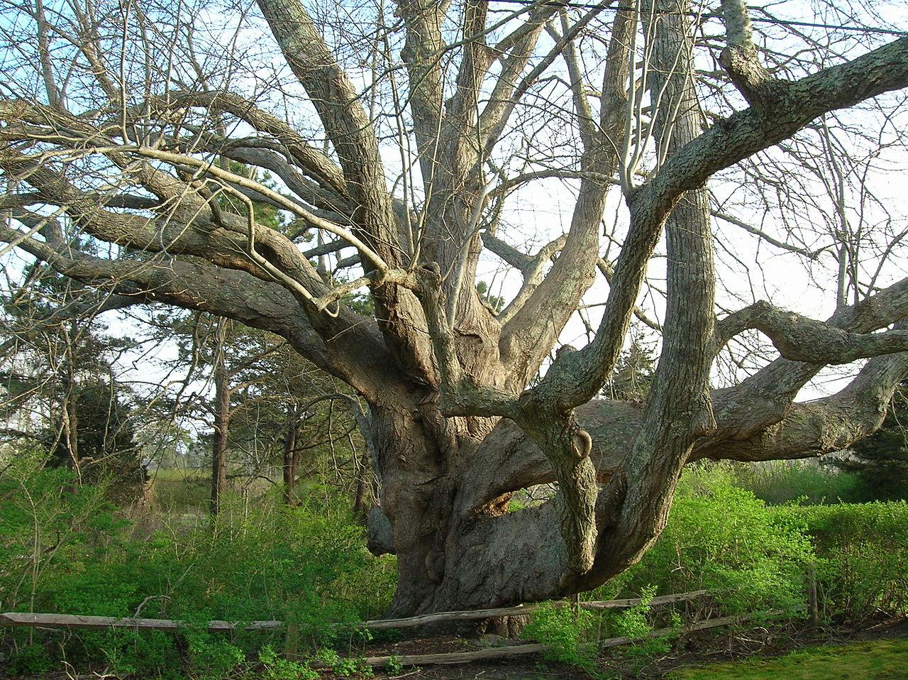 File Old Linden Tree Chatham Ma April 2012 Jpg