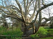 Old Linden Tree - Chatham, MA - April 2012