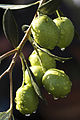 Olives (UOVO PICCIONE) Cl J Weber (12) (22754125297).jpg