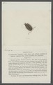 Oniscus fossor - - Print - Iconographia Zoologica - Special Collections University of Amsterdam - UBAINV0274 098 08 0054.tif