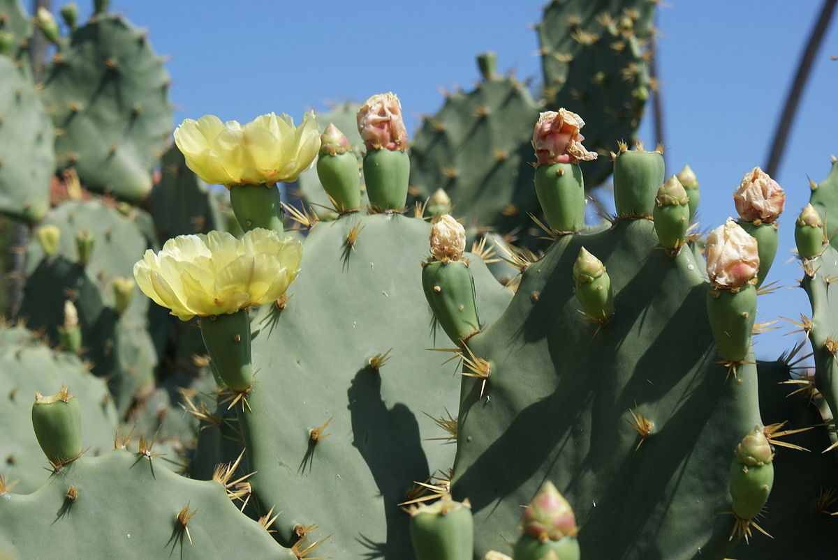 Opuntia Stricta Wikispecies