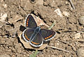 Orange-bordered Argus - Aricia agestis 03.jpg