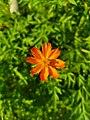 Orange Cosmos Flower.jpg