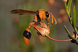 Orange Potter Wasp (Delta bicinctus).jpg