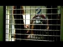 Archivo: Orangutanspeech.webm