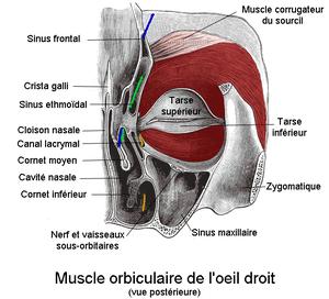 Muscle orbiculaire de l 39 il wikimonde - Couche du globe oculaire ...