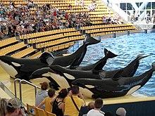 Orcas at Loro Parque 08.JPG