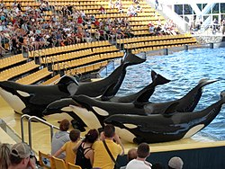 Orcas at Loro Parque 08.JPG