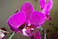 Orchidea storczyk kwitnący Łódź 2011 MZW 2194.jpg