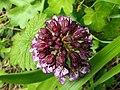 Orchis purpurea (14024956910).jpg