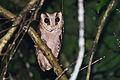 Oriental bay owl, Phodilus badius - Khao Yai National Park.jpg