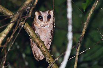 Bay owl - Image: Oriental bay owl, Phodilus badius Khao Yai National Park
