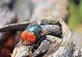 Oriental latrine fly on rotten bananas (5265879161).jpg