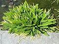 Orontium aquaticum - Villa Taranto (Verbania) - DSC03718.jpg