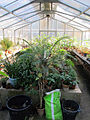 Orto botanico, fi, serretta felci (cicadee) 06.JPG