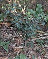 Osmanthus heterophyllus s8.jpg