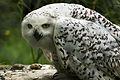 Owl (7295092222).jpg