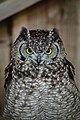 Owls @ Dragonheart, Enschede (9549626716).jpg