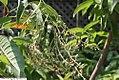 Oxydendrum arboreum 9zz.jpg