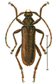 Oxypleurus nodieri.png