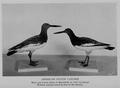 OysterCatcher BSNH 1930.png