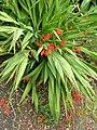 P1000310 Crocosmia (Lucifer) (Iridaceae) Plant.JPG
