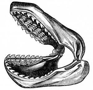 PSM V04 D076 Infant shark jaw.jpg
