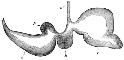 PSM V17 D629 Stomach of a sheep.jpg