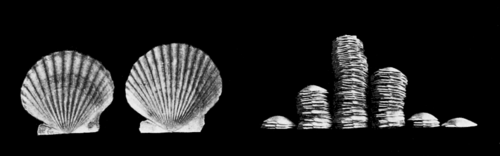 PSM V59 D461 Evolutionary shapes of scallop ribs and pecten shapes.png
